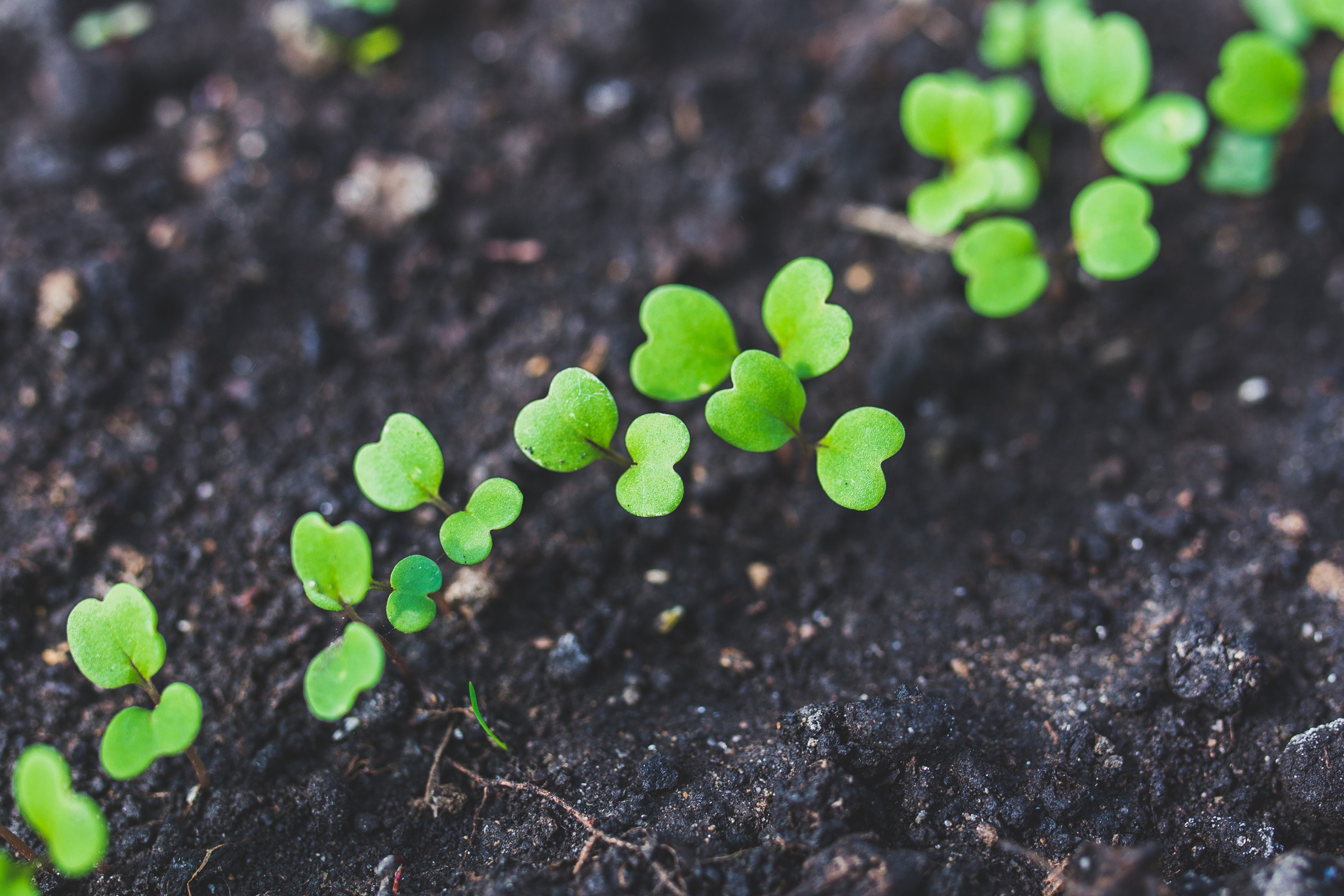 Row of bright green seedlings sprouting in rich dark soil